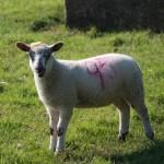 pretty-sheep