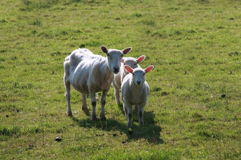three-sheep